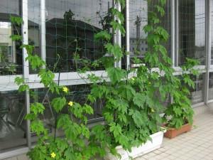 ゴーヤによる緑のカーテン